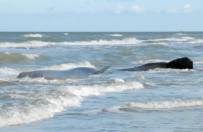 Capodogli spiaggiati in Puglia a dicembre 2009