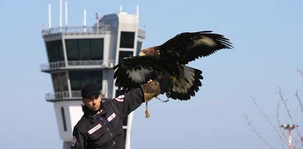 Falconiere in azione nell'aeroporto di Bari